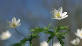 Anemone nemorosa in the wind. Anemone nemorosa swaying in the wind. Common names include wood anemone, windflower, thimbleweed, and smell fox stock video