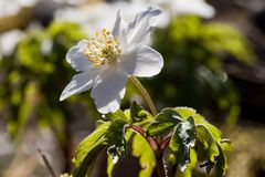 Anemone nemorosa Stock Photography