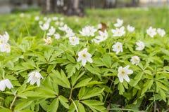 Anemone nemorosa (Wood anemone, windflower, thimbleweed, smell fox, Anemonoides nemorosa) - white flower Stock Images