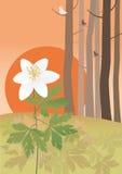 Anemone no pôr-do-sol Imagens de Stock