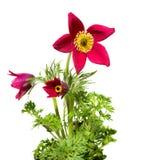 Anemone Pasqueflower ή λιβαδιών στο άσπρο υπόβαθρο Στοκ Εικόνα