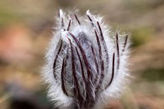 Anemone patens στοκ εικόνες