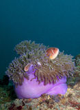 Anemone with pink anemone fish. Sea anemone with pink anemone fish inside Royalty Free Stock Photography