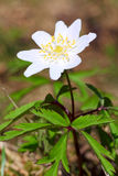 Anemone plant with  white flower. Blossoming anemone plant with  white flower in spring forest Stock Photography