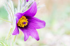Anemone pulsatille Royalty Free Stock Photography