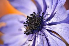 An Anemone Purple Flower. This is a side view of an anemone purple flower, focusing on the black centre of the flower royalty free stock photo