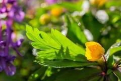 Anemone ranunculoides με την εκλεκτική εστίαση Στοκ Εικόνα