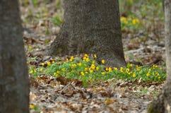 Anemone ranunculoides Στοκ φωτογραφίες με δικαίωμα ελεύθερης χρήσης