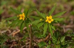 Anemone ranunculoides Στοκ Εικόνες