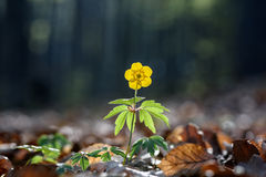 Anemone ranunculoides. Royalty Free Stock Photos