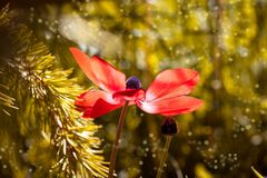 Anemone, Red, Red Anemone, Flower Royalty Free Stock Photography