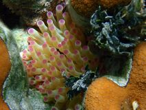Anemone in reef II Stock Photography