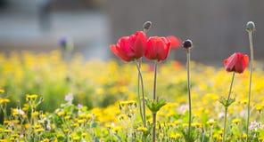 Anemone rosso Immagine Stock Libera da Diritti