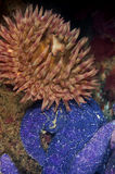 Anemone with Sea Star. A fish eating anemone shares some space with an ochre sea star Royalty Free Stock Photos