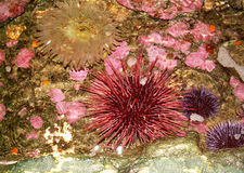Anemone and sea urchins. Anemone and red and purple sea urchins stock photos