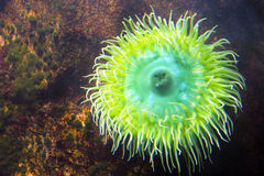 Anemone. Sea Anemone in the water stock photography