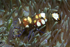 Anemone shrimp Stock Photos