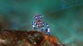 Anemone shrimp stock video