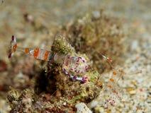 Anemone Shrimp Stock Images