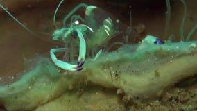 Anemone Shrimp Thor-amboinensis en Prachtige magnificus van Ancylomenes van anemoongarnalen op anemoon in Lembeh-Straat stock videobeelden