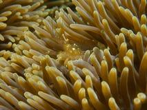 Anemone Shrimp Royalty Free Stock Photography