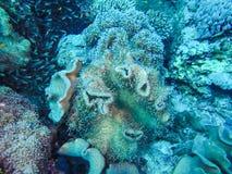 Anemone Shrimps Hovering Around transparente una anémona en el re fotos de archivo libres de regalías