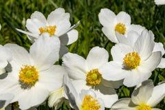 Anemone Silvestris bloeide in een bloembed op het perceel ??n van de eerste de lentebloemen stock afbeelding
