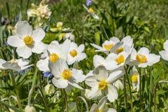 Anemone Silvestris bloeide in een bloembed op het perceel ??n van de eerste de lentebloemen royalty-vrije stock afbeeldingen