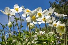 Anemone Silvestris bloeide in een bloembed op het perceel ??n van de eerste de lentebloemen stock fotografie