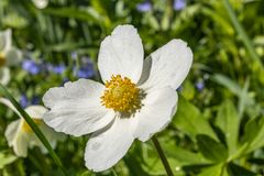 Anemone Silvestris bloeide in een bloembed op het perceel ??n van de eerste de lentebloemen royalty-vrije stock afbeelding