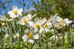 Anemone Silvestris bloeide in een bloembed op het perceel ??n van de eerste de lentebloemen stock foto's