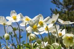 Anemone Silvestris bloeide in een bloembed op het perceel ??n van de eerste de lentebloemen royalty-vrije stock foto's