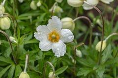 Anemone Silvestris bloeide in een bloembed op het perceel ??n van de eerste de lentebloemen royalty-vrije stock fotografie