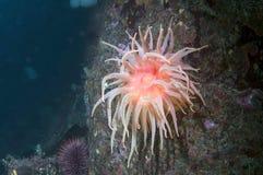 anemone snakelock Στοκ Εικόνα