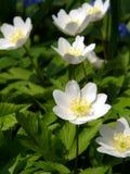 anemone snowdrop Στοκ Φωτογραφίες