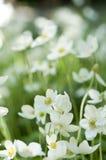anemone snowdrop Στοκ Εικόνες