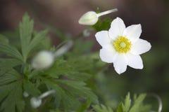 Anemone - Snowdrop Windflower Στοκ φωτογραφία με δικαίωμα ελεύθερης χρήσης