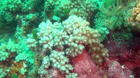 Anemone and soft green coral on clean clear seabed underwater of Maldives. stock footage