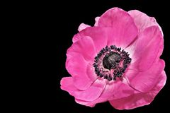 Anemone, Spring, Blossom, Bloom Stock Image