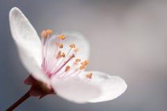 Anemone spring flower. Beautiful anemone spring flower - macro royalty free stock photo