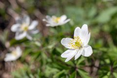 Anemone in spring Stock Photo