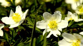 Anemone in springtime stock footage