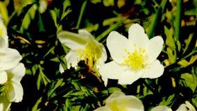 Anemone in springtime stock video footage