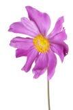 Anemone Stock Image