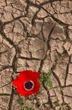 Anemone su una priorità bassa incrinata del fango Immagini Stock Libere da Diritti