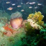 Anemone subacqueo, un animale che assomiglia ad un fiore, pesci intorno fotografia stock libera da diritti