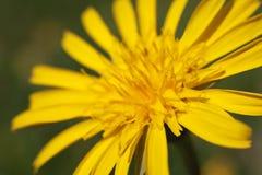 Anemone sulfureous - alpina del Pulsatilla Fotografie Stock