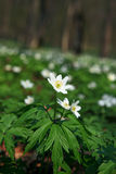 Anemone sylvestris Royalty Free Stock Photography