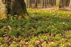 Anemone sylvestris Stockfotografie