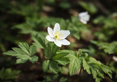 Anemone sylvestris. First spring flowers Stock Images